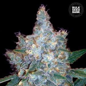 Autoflowering Blueberry Berry