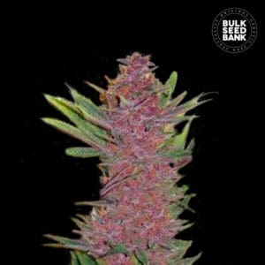 Autoflowering Purple Glam Kush