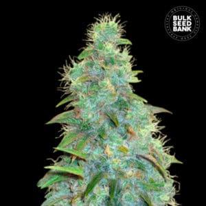 Autoflowering Sweet Tooth