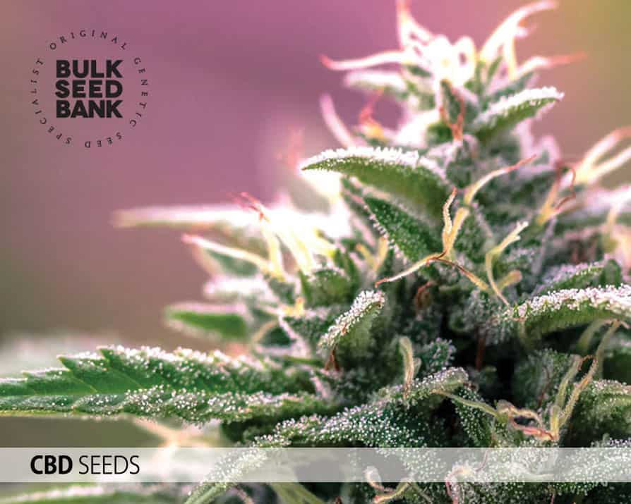 Cbd Seeds BSB