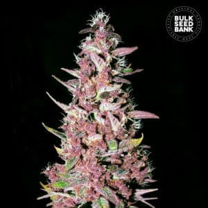 Purple Glam Kush Feminised
