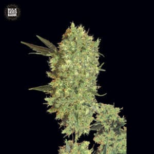 Marley's Bud